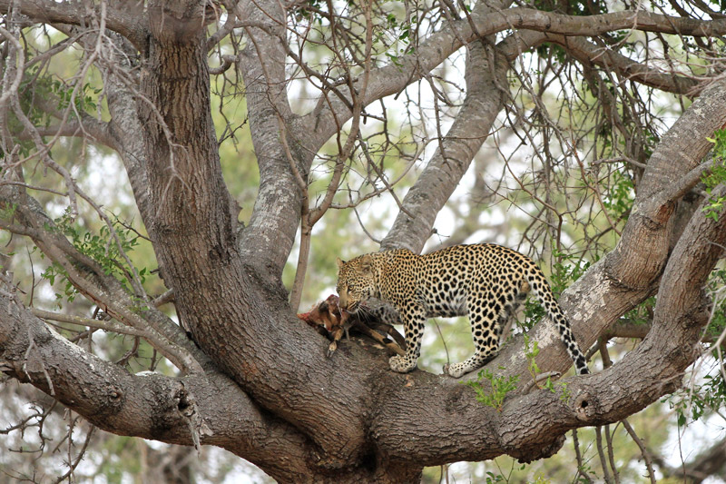 A leopards' call is called 'rasping', a rough, deep call that announces their presence