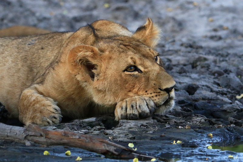 The African Lion is listed as vulnerable on the IUCN Red List of Threatened Species
