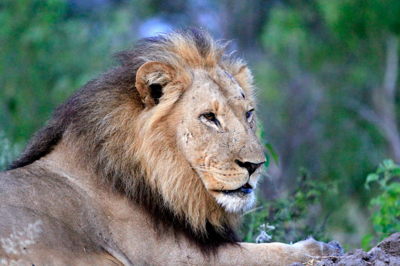 A Lion's eyesight is 6 times more sensitive to light than humans