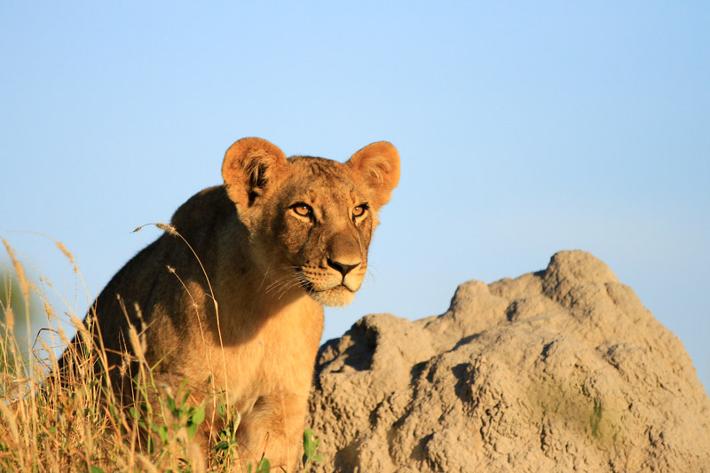 Lions are identified by their whisker spots, similar to our finger-print