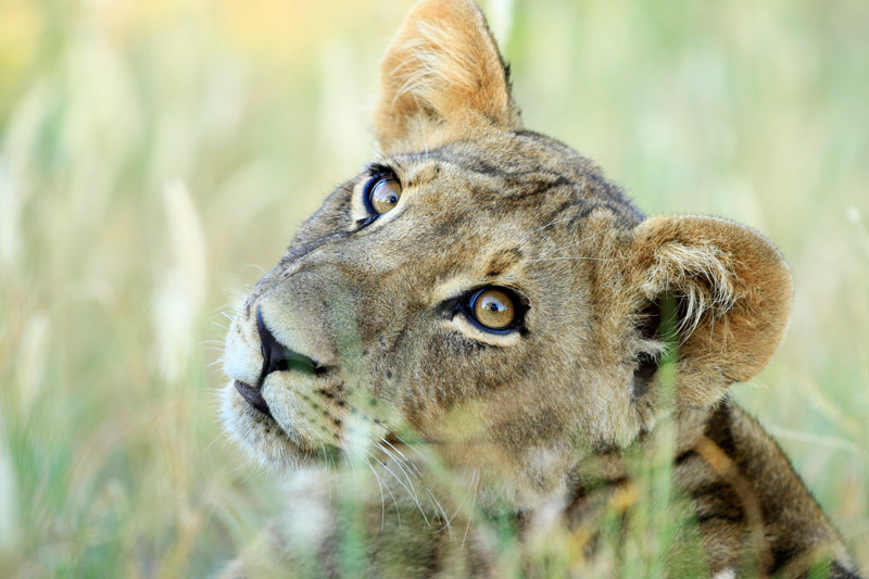 Lions were reintroduced to Rwanda in 2015 after a 20 year absence