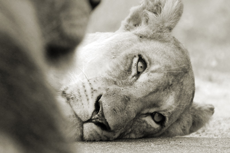 Human-wildlife conflict is one of the biggest threats to wild lions