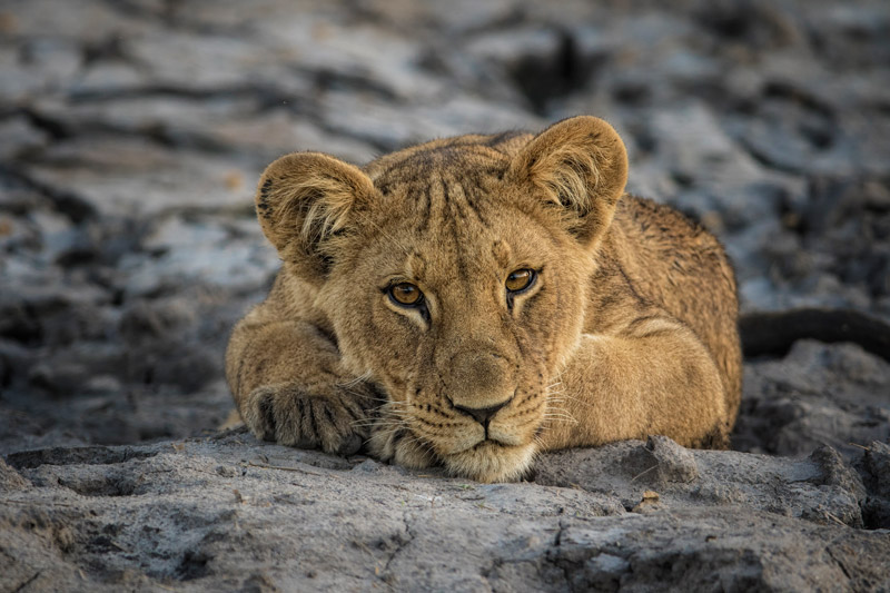 Lions spend between 16 - 20 hours per day resting and sleeping