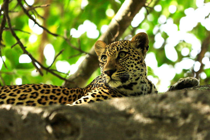 Leopard cubs are kept hidden for about the first 8 weeks