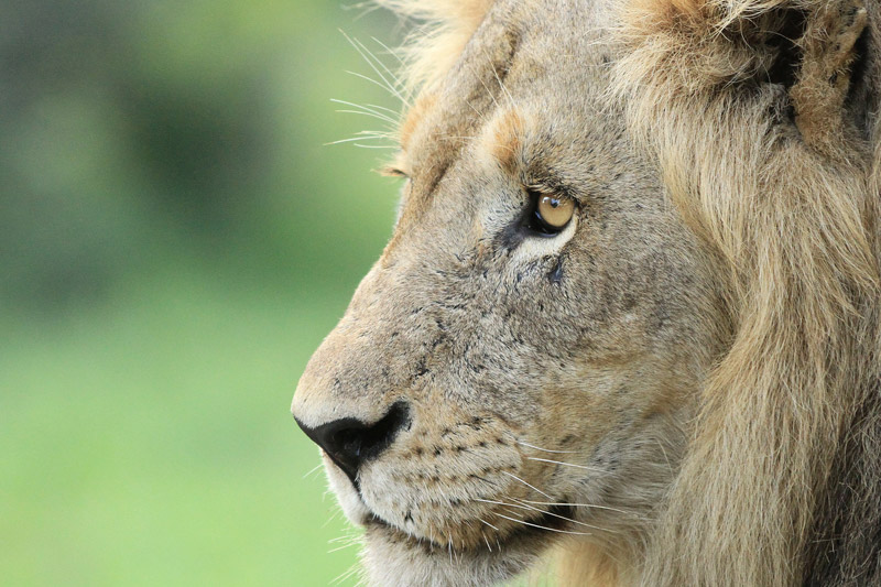 Lions are the most social big cat and live in prides