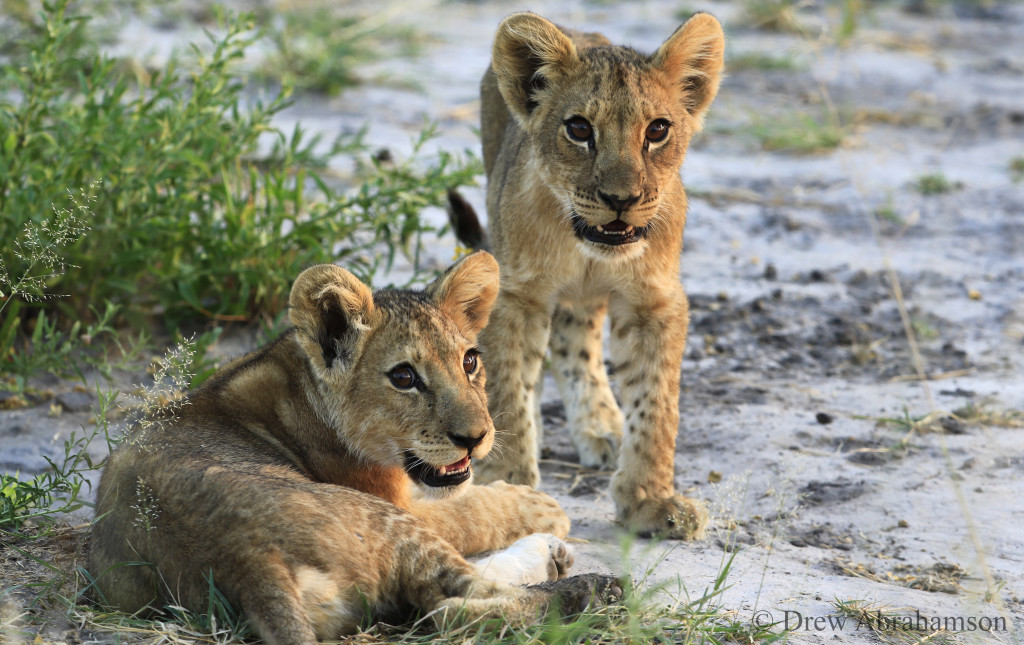 Selinda lion cubs