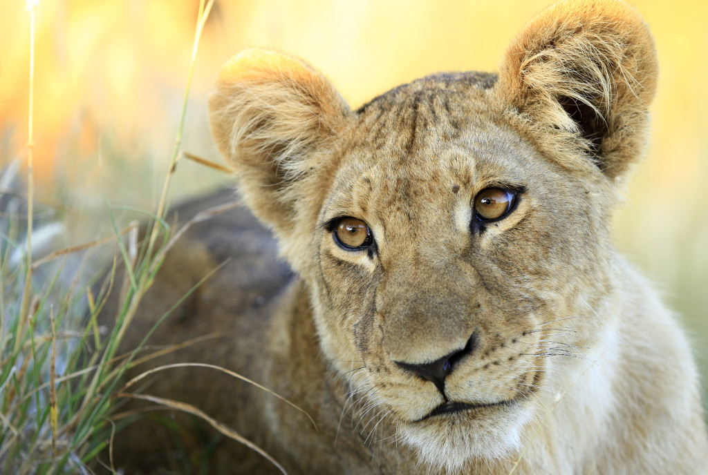 Wild and free lion cub. © Drew Abrahamson