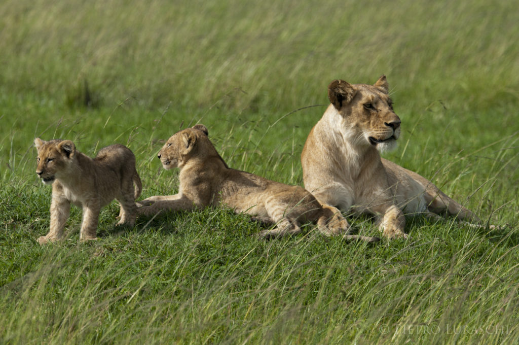 lioness-and-cubs